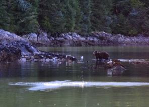 Brown Bear in Southeast Alaska