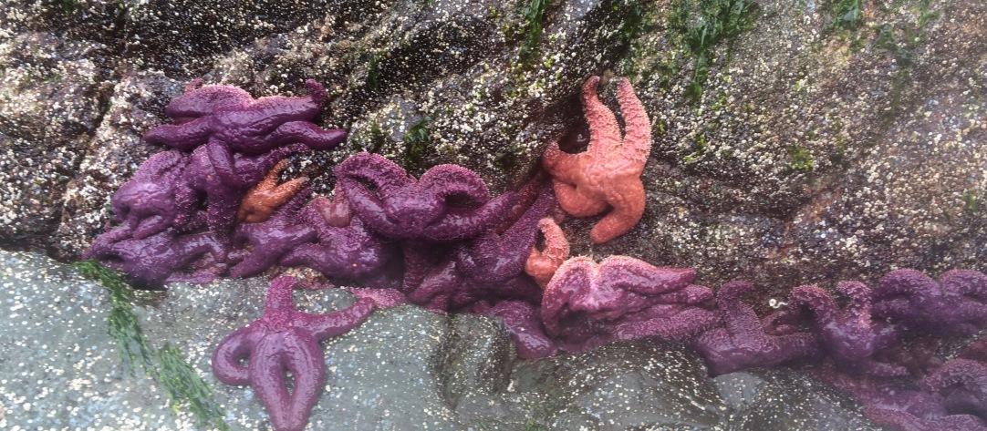 Purple Star Fish (Pisaster Ochraceus) on Quadra Island