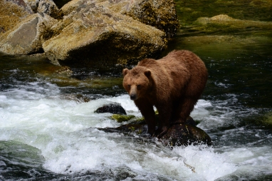 Lunch time? Brown Bear in Southeast Alaska. Image taken with telephoto lens and cropped.